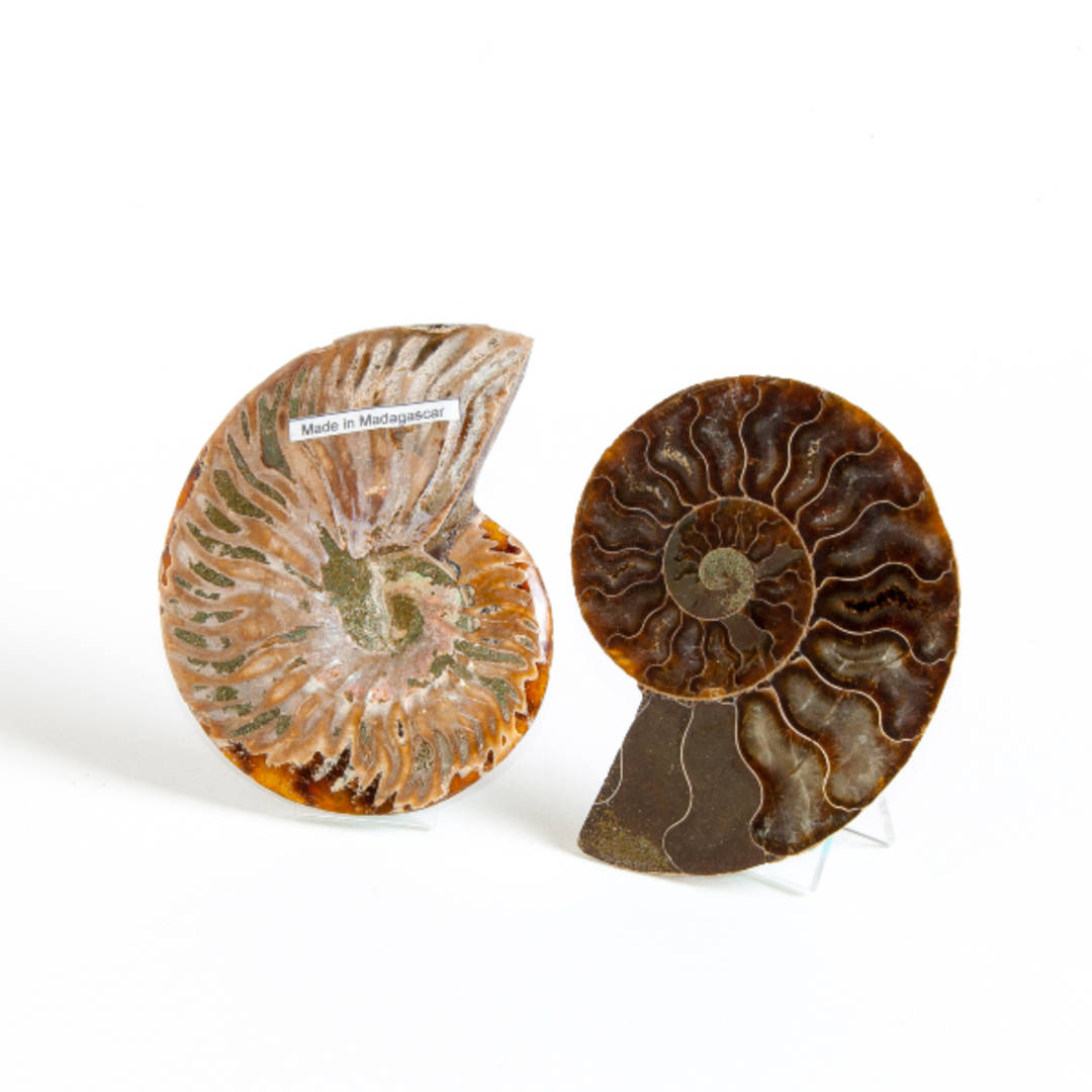Ammonite Pair (Polished)